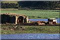 NT6134 : Cattle at Whitrig Bog : Week 48