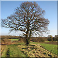 TL3358 : An oak and a bench at a bend in the bridleway by John Sutton