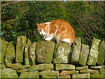 SK2371 : Cat at Pilsley by Trevor Rickard