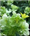 SX9265 : Hellebores, Babbacombe Downs : Week 5