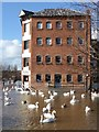 SO8454 : Swans on floodwater : Week 6
