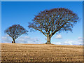 NH6363 : Beech trees by St Martins : Week 7