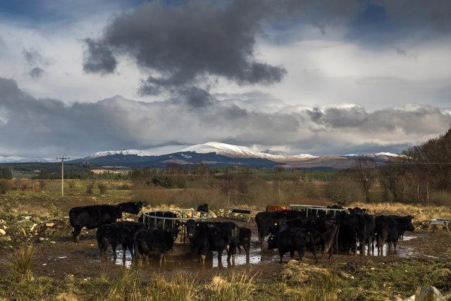 Cattle feeders near Barfad