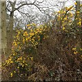 SP9660 : Gorse in flower in March! by Dave Thompson