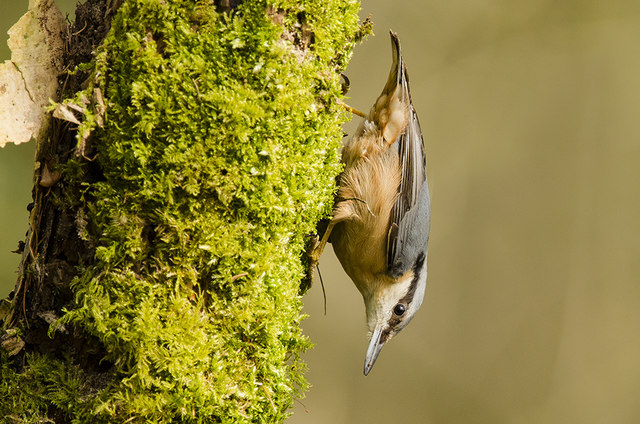 Nuthatch - St Hilary