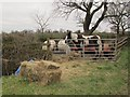 SJ7161 : Horse and ponies on Crabmill Lane by Stephen Craven