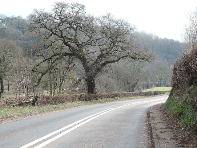 Cullompton: oak tree by the B3181