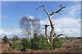 SU9153 : Dead pine, Ash Ranges : Week 13