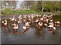 SD4314 : Martin Mere Wetland Centre, Chilean Flamingos (Phoenicopterus chilensis) by David Dixon