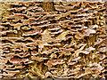SD7707 : Bracket Fungus on Dead Tree Stump by David Dixon