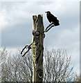SX9065 : Crow on totem pole, Windmill Hill : Week 15