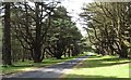 J3532 : Himalayan Cedars on the Main Drive of  Tollymore Park by Eric Jones