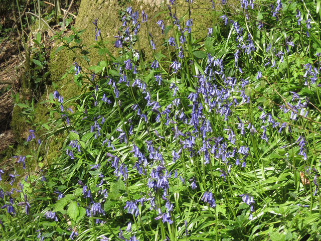 Bluebells by the County Boundary path near Hastoe