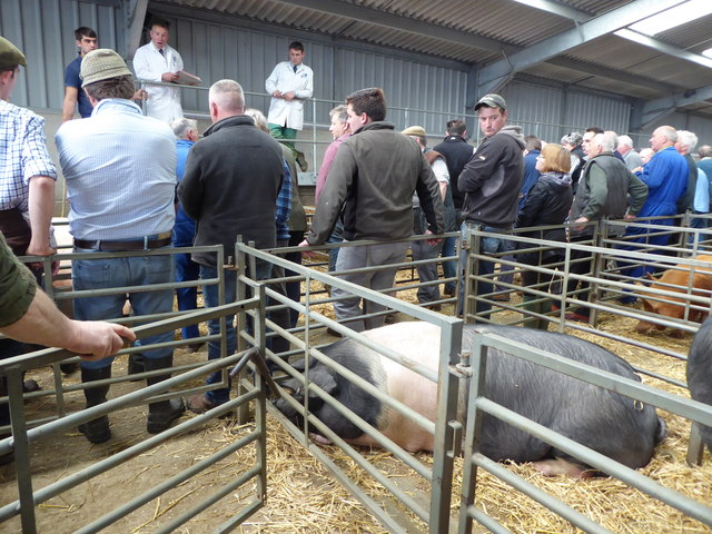 Auctioning pigs, Cirencester Livestock Market, Cotswold Agricultural Centre