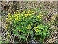 SJ4765 : Marsh Marigolds at Hockenhull Platts by Dave Dunford