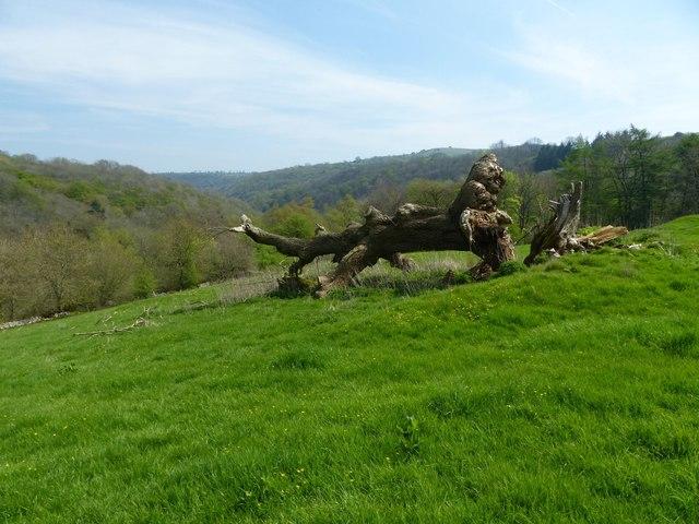 Fallen tree near Griffe Grange Farm