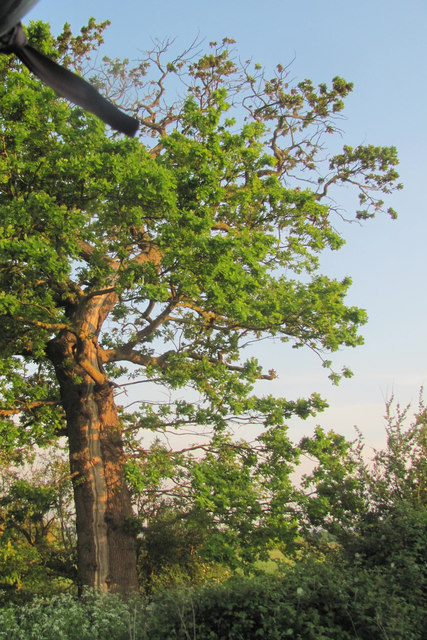 A tree struck by lightning on Alnwick Farm