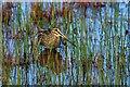 HP5901 : Common Snipe (Gallinago gallinago, Easter Loch, Uyeasound : Week 23