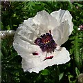 SO6023 : Papaver sp. by Jonathan Billinger