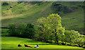 NY2218 : Cattle in sunlit field by Trevor Littlewood