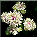 SO5152 : White Astrantia flowers by Jonathan Billinger