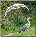 SJ3699 : Gull dive-bombing a heron : Week 26