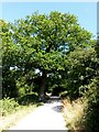 SZ0996 : Muscliff: large oak on the Stour Valley Way by Chris Downer