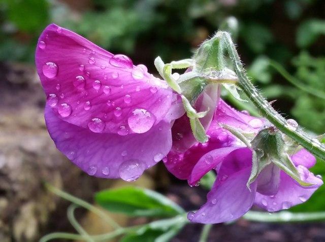 Sweet Peas in the rain, 8