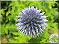 SO6023 : Globe Thistle, 1 by Jonathan Billinger
