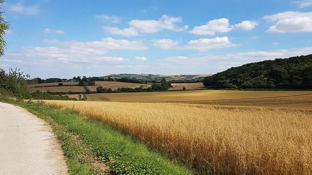 Barley ready for harvesting on Duncombe Farm