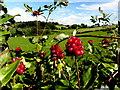 H7454 : Wild honeysuckle berries, Carrycastle by Kenneth  Allen