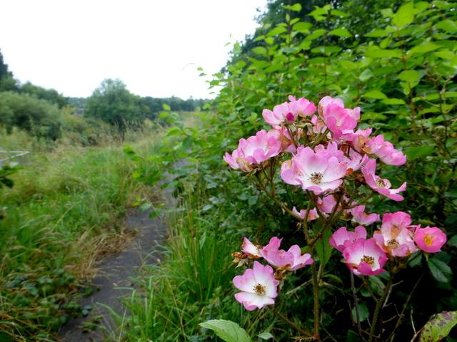Wild roses, Creevenagh