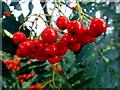 H5270 : Rowan tree berries, Deroran by Kenneth  Allen
