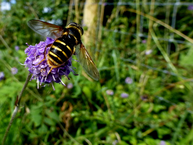 Hoverfly Sericomyia silentis on Devil's bit Scabious, Ballygowan (1)