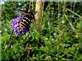H4271 : Hoverfly Sericomyia silentis on Devil's bit Scabious, Ballygowan (1) : Week 37