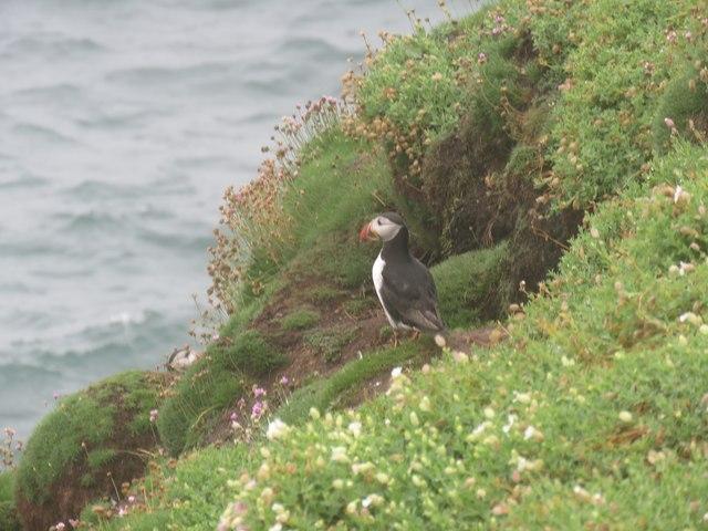 A puffin, seen on Little Saltee Island