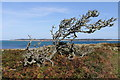 SV9112 : Windswept tree : Week 40
