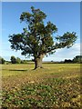 SO8641 : Oak tree in an arable field : Week 39