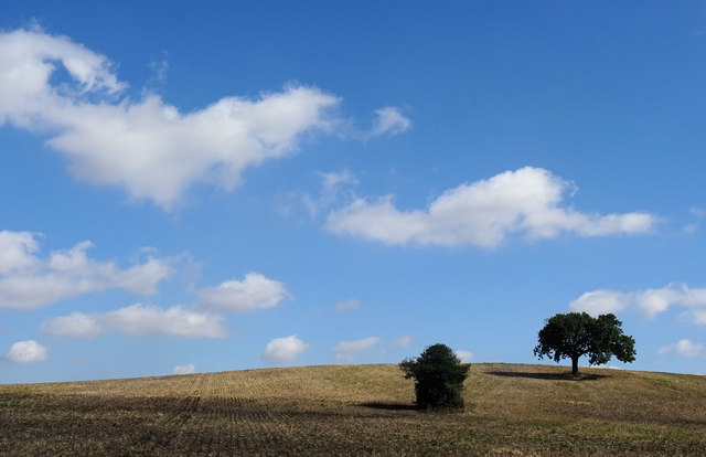 Lone trees on the hill