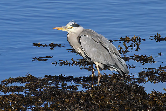A grey heron (Ardea cinerea) at Lossiemouth