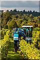 TQ1650 : Grape harvesting at Denbies Vineyard by Ian Capper
