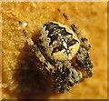 NJ1670 : Garden Spider (Araneus diadematus) by Anne Burgess