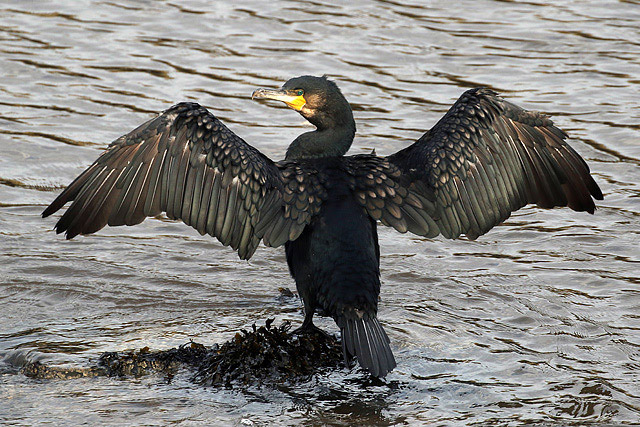 A cormorant (Phalacrocorax carbo) at Eyemouth harbour