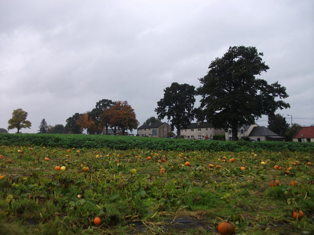 Field of pumpkins, Arnprior