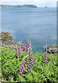 SW8836 : Foxgloves on the cliff top at Pednvadan by Rod Allday