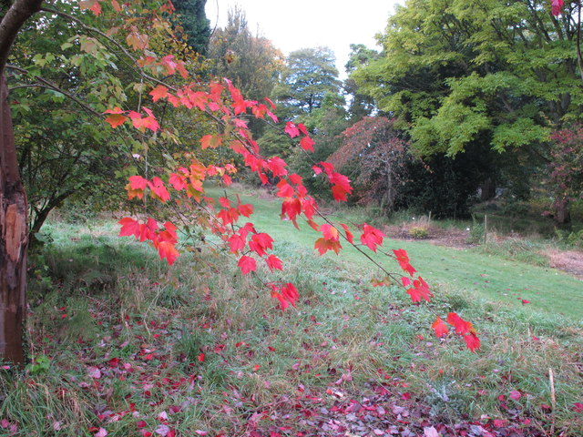 Maple leaves in autumn, Forde Abbey