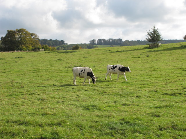 Cattle in Sherborne Castle parkland