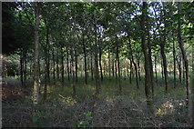 TQ3327 : Young trees, River's Wood by N Chadwick