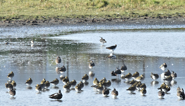 Lapwing and Golden Plover, Belfast Harbour lagoon (November 2016)