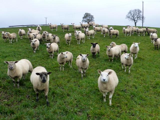 Curious sheep, Donaghanie